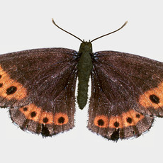 Scotch Argus butterfly 3D Model