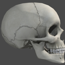 Lowpoly Human Skull 3D Model