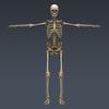 03 03 28 595 skeletonmayarigged th005 4