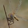 03 07 42 203 dragonfly 1 4
