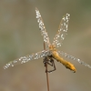 03 07 42 329 dragonfly 2 4