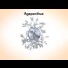 03 15 51 320 agapanthus 3 4