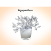 03 15 51 5 agapanthus 1 4