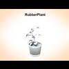 03 16 50 708 rubberplant 2 4