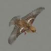 03 17 51 677 sparrow 03 4