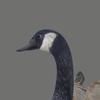 03 18 01 525 goose 05 4