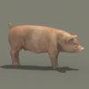 03 18 02 151 pig 01 4