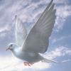 03 18 03 781 white dove 01 4