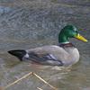 03 18 06 671 duck water 4