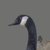 03 18 07 946 goose 05 4