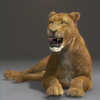 03 18 48 998 lioness 02 4