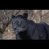 03 18 52 790 panther 01 4
