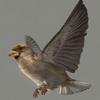 03 19 06 228 sparrow 01 4