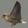 03 19 06 537 sparrow 04 4