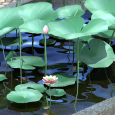 Lotus Flowering Plant 3D Model