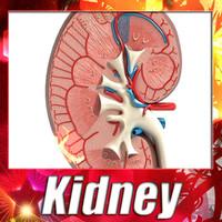 Kidney Anatomy High Detail 3D Model