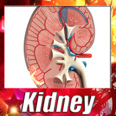 Kidney Anatomy High Detail 3D Model