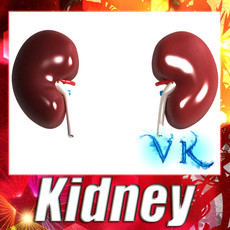 3D Model Human Kidneys High Detail 3D Model