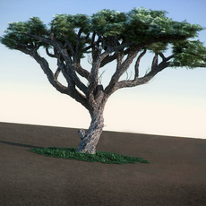 Acacia HiPoly broadleaves tree 3D Model