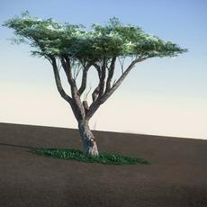 Acacia LowPoly tree 3D Model