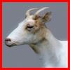 04 03 00 803 goat closeup 004 4