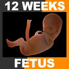 Human Fetus 12 Weeks 3D Model