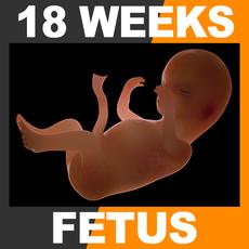 Human Fetus 18 Weeks 3D Model
