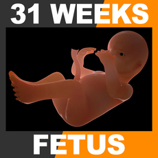 Human Fetus 31 Weeks 3D Model