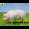 04 28 58 532 pig 480 0002 4