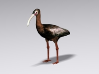 White faced ibis 3D Model