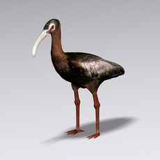 White faced ibis 3D Model