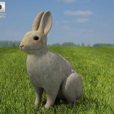 Common Rabbit 3D Model