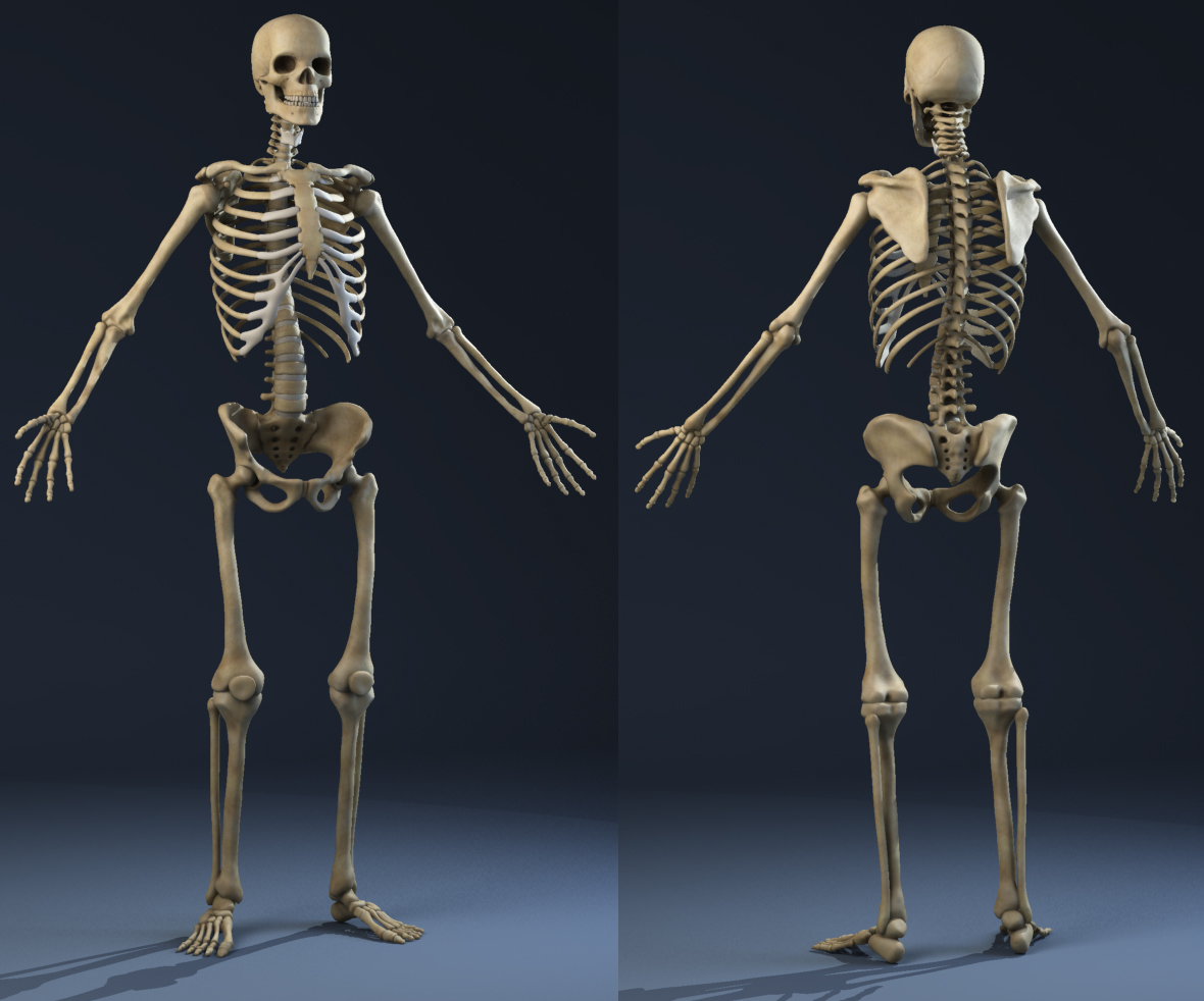 Male Anatomy (Muscles, Skeleton, Skin) 3D Model