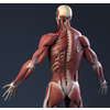 04 34 45 852 internalmusclesback 4