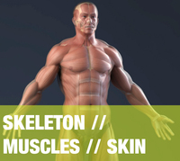 Male Anatomy (Muscles, Skeleton, Skin) 3D Model
