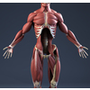 04 34 46 2 internalmusclesfront 4
