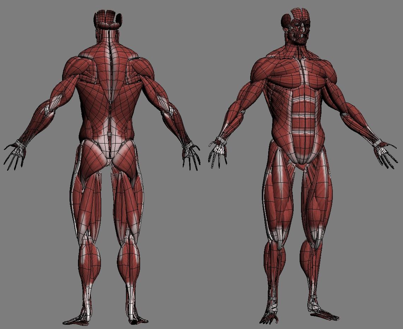 Male Anatomy Muscles Skeleton Skin 3d Model