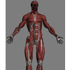 04 34 50 46 wireupperbodymusclesdetail 4