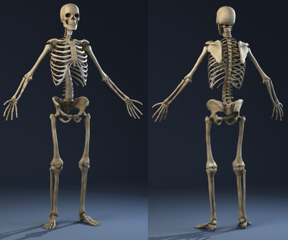 Male Anatomy(muscles,skeleton) 3D Model