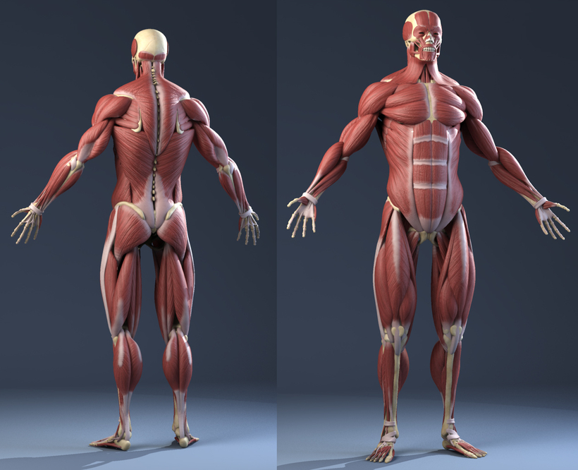 Male Anatomy(muscles,skeleton) 3D Model