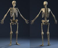 Anatomy Skeleton (male) 3D Model