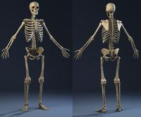 Anatomy Skeleton (male) 3D Model