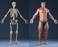 Anatomy Bones and Skin (male) 3D Model