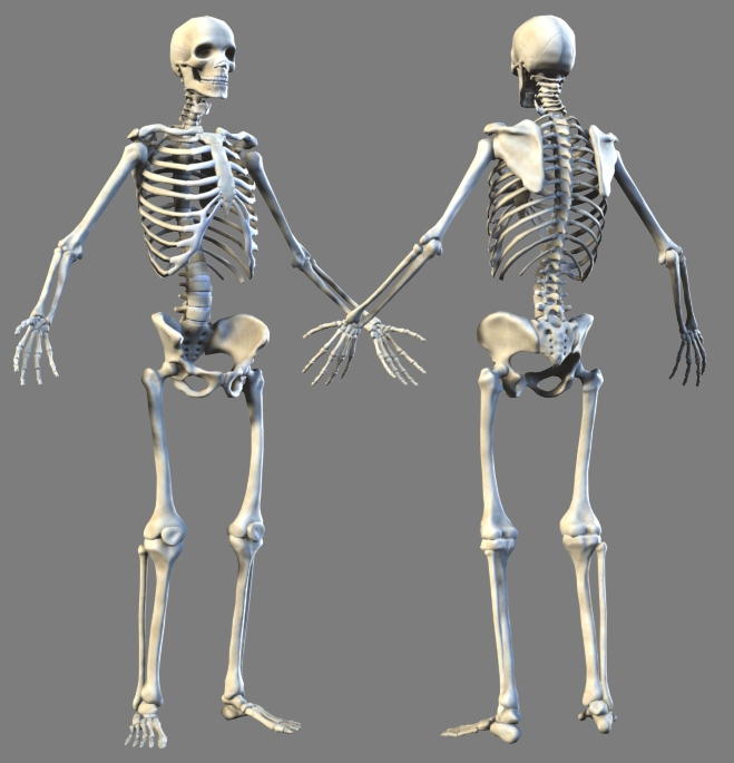 Lowpoly Skeleton Anatomy 3d Model
