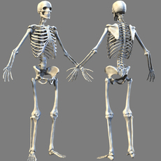 Lowpoly Skeleton (anatomy) 3D Model