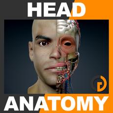 Human Male Head Anatomy 3D Model