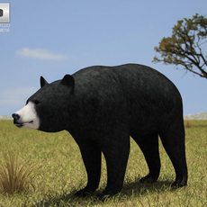 American Black Bear (Ursus Americanus) 3D Model
