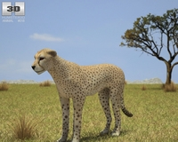 Cheetah (Acinonyx Jubatus) 3D Model