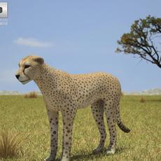 Cheetah (Acinonyx Jubatus) 3D Model