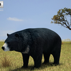 Asian Black Bear (Ursus Thibetanus) 3D Model